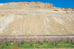 Blossoms. Blossoming fruit orchard near Palisade, Colorado in spring with a mesa in the background Royalty Free Stock Image