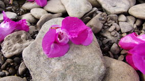 Blossoms. Pink Blossoms lying on pebbles at a beach Royalty Free Stock Photos