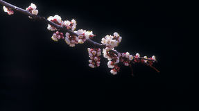 Blossoms against black background. Royalty Free Stock Images