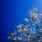 Blossoms against clear blue sky. The branch of tree covered with spring blossoms against clear blue sky. No sharpening has been applied Stock Photography
