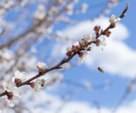 Free Blossoms And Bees Stock Images - 30342574