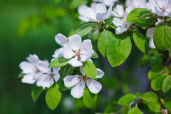 Blossoms aplle tree Stock Photo