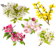 Blossoms of apple and pear tree, cherry twig. Spring flowers Stock Photography