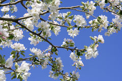 Blossoms apple tree Stock Images