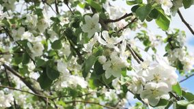 Blossoms apple tree. Blooming apple tree in spring in a light wind stock footage
