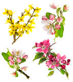 Blossoms of apple tree, cherry twig, forsythia Royalty Free Stock Photography