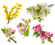 Blossoms of apple tree, cherry twig, forsythia Stock Photography
