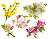 Blossoms of apple tree, cherry twig, forsythia. Spring flowers Stock Photography