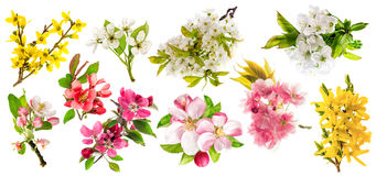 Blossoms of apple tree, cherry twig, pear, forsythia. Set of spr. Ing flowers isolated on white background Stock Images