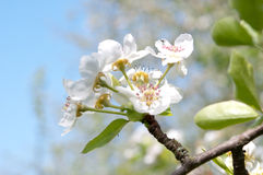 Blossoms on apple tree Royalty Free Stock Photography