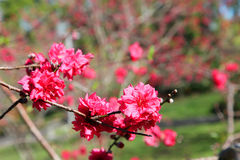 Beautiful bright pink cherry blossom flowers Royalty Free Stock Images