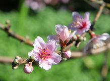 Beautiful bright pink cherry blossom flowers Stock Photography