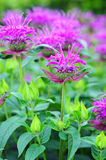 Blossoms of beebalm (monarda) Royalty Free Stock Image