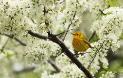Blossoms and bird Royalty Free Stock Image