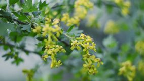 Blossoms of Black-Currant moving with the wind stock video footage