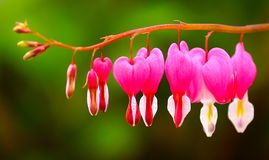 Blossoms of bleeding heart flowers Royalty Free Stock Photography