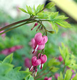 The blossoms of Bleeding heart Royalty Free Stock Photography