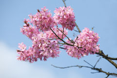 Blossoms and blue sky Royalty Free Stock Photos