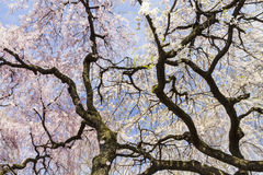 Blossoms and Branches Royalty Free Stock Photos
