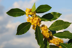Blossoms on the branches of laurel tree. With the sky background Royalty Free Stock Image