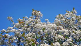 Blossoms In Breeze On Sunny Day. Top of tree in bloom on a summer day stock footage