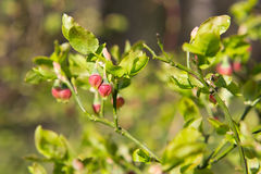 Blossoms bush blueberries Royalty Free Stock Photos