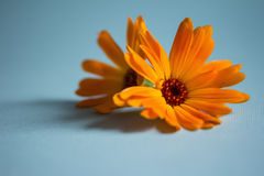 Blossoms of calendulas (Calendula officinalis) Royalty Free Stock Images