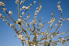 Blossoms cherry tree Royalty Free Stock Photography