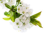 Blossoms of cherry tree isolated on white Royalty Free Stock Images