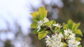 Blossoms on cherry tree in spring stock footage