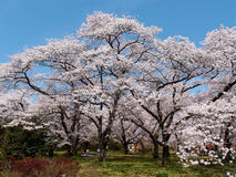 Blossoms of cherry trees in a garden Kyoto Japan Stock Photo