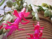 Blossoms christmas cactus stock photos