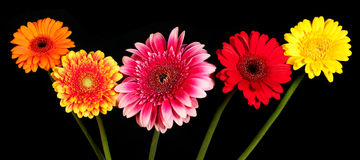 Blossoms of colorful Gerbera flowers in various colors Royalty Free Stock Photos