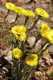 Blossoms of Coltsfoot, Tussilago farfara Stock Photography