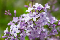 Blossoms of common lilac syringa plant Stock Photos