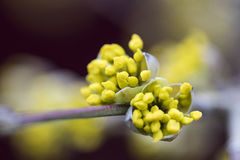 Blossoms of a Cornelian cherry bush Cornus mas in the early sp. Ring Stock Photos