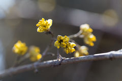 Blossoms of a Cornelian cherry bush Cornus mas. In the early spring Royalty Free Stock Images