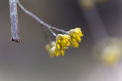 Blossoms of a Cornelian cherry bush Cornus mas. In the early spring Stock Photos
