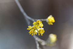 Blossoms of a Cornelian cherry bush Cornus mas Stock Photo
