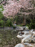 Blossoms cover a pond in spring Royalty Free Stock Image