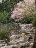 Blossoms cover a pond in spring. Pink and red blossoms on the trees in spring and fallen to the surface of a duck pond and nearby boulder in Lithia Park in stock photography