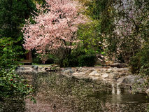 Blossoms cover a pond in spring Royalty Free Stock Images