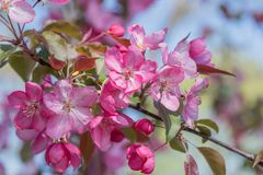 Blossoms of a crab apple tree Stock Photo