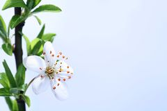 Blossoms at early spring Stock Image