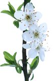 Blossoms at early spring Stock Photography