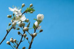 Blossoms at early spring royalty free stock photo