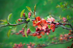 Blossoms of flowering quince Stock Images