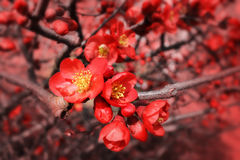Blossoms of flowering quince Royalty Free Stock Image