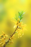 Blossoms of forsythia on small twig Stock Photos