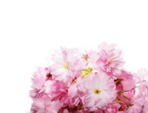 blossoms isolated on white Royalty Free Stock Images